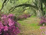 Azaleas and tree