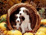 Collie pups in the basket
