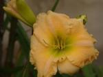 Beautiful Day Lily