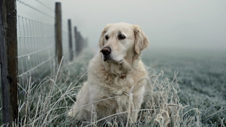 Retriver - photography, retriver, Golden Retriever, animals, dog, sweet