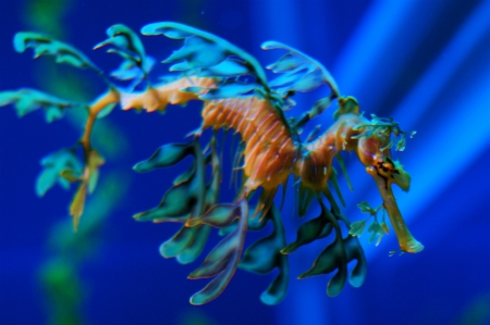 Sea Dragon - Sea, Seadragon, Blue, Nature