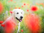 Happy between poppies