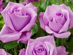 Pretty purple roses