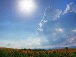 sunshine over sunflower field