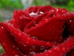 Dew on the petals of red rose