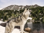 'Loki' the wolfdog......