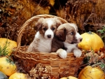 pups in basket with squashes