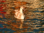 Young Swan in Reflections