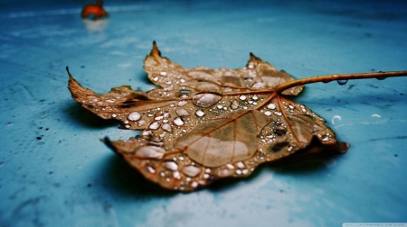 Wet maple leaf - fall, autumn, raindrops, dew, HD, drops, leaf, dewdrops, leaves, wallpaper, nature, rain