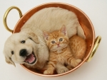 Retriever pup and ginger kitten in a cooper pan