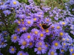 red admiral and daisies