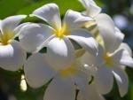 Brightness of a Frangipani