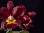 Cattleya Landate Orchids