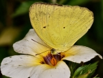 Yellow Orange-tip Butterfly