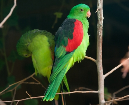 Red Winged Parrots - red, parrots, winged, animal