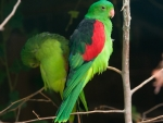 Red Winged Parrots
