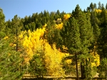 Golden Quaking Aspen