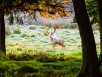 White Fallow Stag Deer
