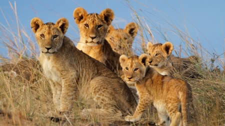 Lion Cubs - wild cats, cubs, siblings, lions