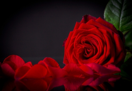 For you - red rose, beauty, flowers, petals