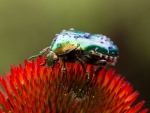 Green Rose Chafer
