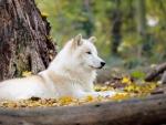 Wolf on Autumn Forest