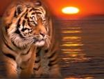 Tiger at Sunset