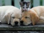 Puppies and a Kitten