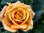 Yellow-gold Rose F