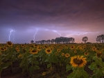 Sunflower and lightning