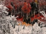 First Snow on Autumn Trees