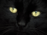 Black Cat Close Up F