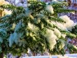 Winter Fir Bough