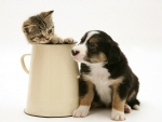 Collie pup with tabby kitten