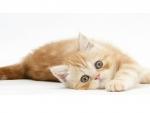 Ginger kitten rolling playfully