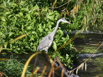 Heron spotted on journey  to work