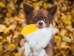 Chihuahua dog foliage autumn