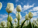 Tulips and clouds