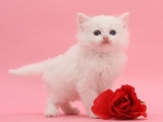 white fluffy with red rose
