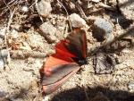 Butterfly Drop of Blood