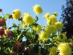 Dazzling Dalias in Butchart Gardens