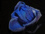 Tears of a Blue Rose