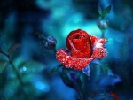 Drops on Red Rose