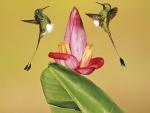 Humming-birds