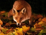 Fox at Fall