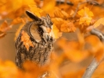 owl in the fall leaves