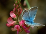 Blue Butterfly on Flowers