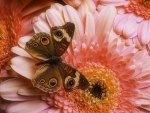 Butterfly on Pink Daisy