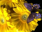 Butterfly on Yellow Daisies