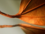 Dry leaf close-up